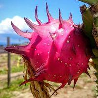Maui Dragon Fruit Farm logo